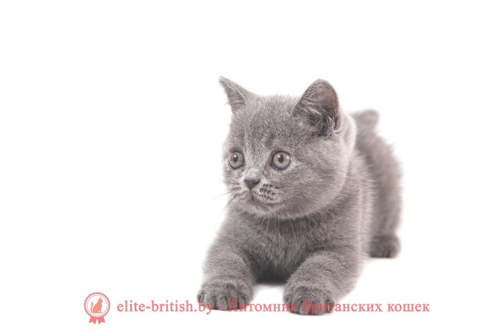 Кот цена голубой британец цена