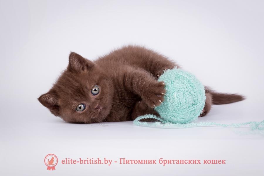 Продажа котов британец