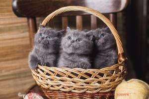 окраска британских кошек фото, окраски британских кошек, окраска британских котят, окраска британцев, окрасы британских кошек, окрас британцев, окрасы британцев с фото, кот британский окрас, окрасы британских кошек с фото, окрас британской породы кошек, каких окрасов бывают британские кошки, коты британцы фото окрасы, окрас британских котят фото, британские коты окрасы фото, кошки британцы окрасы, британские короткошерстные кошки окрасы, какие окрасы у британских кошек, котенок британский окрас, окрасы котов британцев, котята британцы окрас, кошки породы британец окрасы, название окрасов британских кошек, окрасы британцев таблица, редкие окрасы британцев, редкий окрас британских кошек, британские котята редких окрасов, цвета британских кошек фото, цвета британцы, цвета британских кошек, цвета британских котов, какого цвета британские кошки, какого цвета британские кошки бывают, британские котята цвет, какого цвета британские котята, британец расцветки, британские котята расцветки фото, расцветки британских кошек фото, расцветка британских кошек, британский кот расцветки, британские котята расцветки, британский кот рисунок, раскраска британских котят, раскраска британских кошек, какого окраса бывают британские котята, какие окрасы бывают у британцев, каких окрасов бывают британские кошки, какие окрасы бывают у британцев, какие окрасы у британских кошек, какого окраса бывают британские котята, какого цвета британские кошки, какого цвета британские кошки бывают, какого цвета британские котята, таблица окрасов, окрасы кошек таблица, таблица предполагаемых окрасов кошек, окрасы котят таблица, окрасы британских кошек таблица, окрасы кошек таблица с фото, окрасы британцев таблица, виды британцев, виды британской кошки, виды британских кошек фото, виды британских котов, разновидности британских кошек фото, разновидности британской породы кошек, разновидности британских кошек, разновидности британской породы кошек, разновидности британских кошек, британский кот разновидности