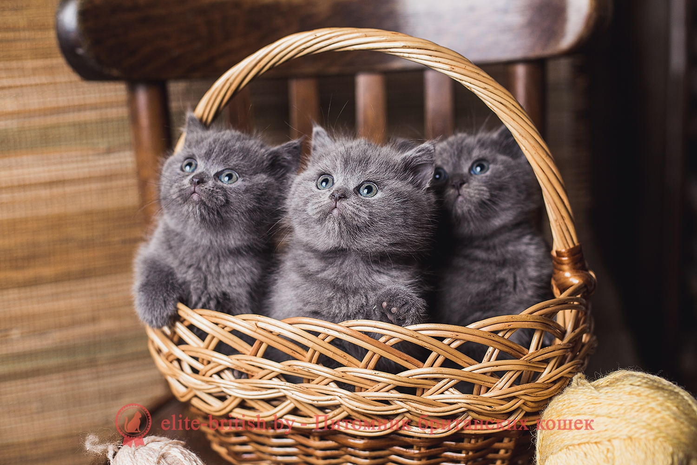 Купить Британского Котенка в Минске, Беларуси: фото, цена ...