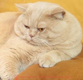 кот британский персиковый фото