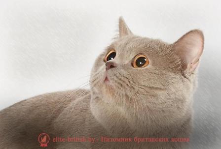 Картинка британский кот