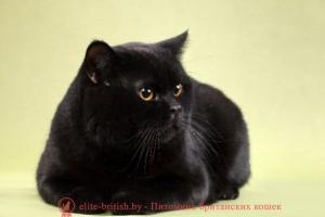 британец черный фото, черные британцы фото, черная британская кошка, черная британская кошка фото, черный британский кот фото, черные британские коты фото, черный британский кот, черные британские коты, британский черный котенок, черные британские котята, кот британец черный фото, черные коты британцы фото, британские котята черного окраса, черный британец, британцы черные, фото черного британского котенка, черные британские котята фото, черный британец котенок, котята британцы черные, черные вислоухие британцы фото, черный вислоухий британец фото, черный дым британская кошка фото, британский кот черный дым, британские коты черного окраса фото, британские котята черный дым, британцы коты черные, черный британец кот, черно белые британцы, черно белый британец, британец черный мрамор на серебре, британцы черный дым фото, британец черный цена, британские кошки окрас черный, британские кошки черный мрамор, британские кошки черного окраса фото, британская вислоухая кошка фото черная, кошки британские вислоухие черные, питомник черных британских кошек, британский кот черный мрамор, британский черный вислоухий кот фото, черно белый британский кот, черный британский вислоухий кот, фото британских котят черного окраса, британский котенок черный мрамор, британский вислоухий черный котенок, черные британцы вислоухие, черный вислоухий британец, британец черного цвета, черный мраморный британец, британцы черный окрас, черный мрамор британцы, черная кошка британец, котята британцы черные фото, черный британец котенок фото, кот британец черно белый, британцы черного окраса фото, кошки британцы черные фото
