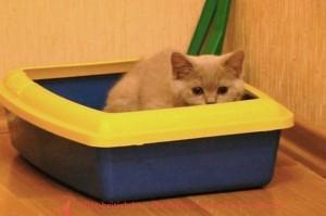 котенок в лотке как приучить котенка к лотку, приучение котенка к лотку, котенок не ходит в лоток, котенок перестал ходить в лоток, котенок не писает в лоток, котенок гадит рядом с лотком, котенок играет в лотке, котенок не какает в лоток, как приручить котенка к лотку, котенок писает мимо лотка, как приучить котенка к туалету, котенок не ходит в туалет, туалет для котенка, как котенку сходить в туалет, приучение котенка к туалету, британские котята туалет, котенок плохо ходит в туалет, какой туалет выбрать для котенка, спрей для котят для туалета, котенок гадит, отучить котенка гадить, котенок гадит где попало, котенок гадит что делать, почему котенок гадит, котенок гадит рядом с лотком, отучить котенка гадить где попало, котёнок гадит на кровать, котенок гадит везде что делать, котенок начал гадить, котенок начал гадить где попало