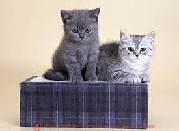 котенок 2 месяца, британский котенок 2 месяца, котёнок 2 месяца фото, котята шотландские 2 месяца, вислоухие котята 2 месяца, котята британцы 2 месяца, вислоухие шотландские котята 2 месяца, британские котята 2 месяца фото, шотландский котенок 2 месяца фото котята британцы фото 2 месяца, черный котенок 2 месяца, размер котенка в 2 месяца, поведение котят в 2 месяца, котята 2 месяца развитие уход сибирские котята 2 месяца фото, как воспитывать котенка 2 месяца, развитие котят по неделям,рост котят по неделям, как определить сколько недель котенку, развитие котенка по неделям фото, как узнать сколько недель котенку, сколько месяцев котенку, котенок до скольки месяцев, развитие котенка по месяцам, размер котят по месяцам, котята от рождения до месяца, взяли котенка 1 месяц, вислоухие котята 1 месяц фото, вислоухие котята 1 месяц фото, rjntyjr 2 vtczwf, ,hbnfycrbq rjntyjr 2 vtczwf, rjntyjr 2 vtczwf ajnj, rjnznf ijnkfylcrbt 2 vtczwf, dbckje[bt rjnznf 2 vtczwf, rjnznf ,hbnfyws 2 vtczwf