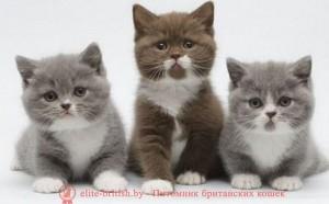 котенок 3 месяца, британский котенок 3 месяца, котенок 3 месяца фото, шотландский котенок в 3 месяца, британский котенок 3 месяца фото, котенок британец 3 месяца, котенок шотландский вислоухий 3 месяца, шотландский котенок 3 месяца фото, размер котенка в 3 месяца, котята сиамские 3 месяца, вислоухие котята 3 месяца фото, развитие котят по неделям,рост котят по неделям, как определить сколько недель котенку, развитие котенка по неделям фото, как узнать сколько недель котенку, сколько месяцев котенку, котенок до скольки месяцев, развитие котенка по месяцам, размер котят по месяцам, котята от рождения до месяца, взяли котенка 1 месяц, вислоухие котята 1 месяц фото, вислоухие котята 1 месяц фото, rjntyjr 3 vtczwf,,hbnfycrbq rjntyjr 3 vtczwf ajnj, ijnkfylcrbq rjntyjr d 3 vtczwf ajnj, rjntyjr,hbnfytw 3 vtczwf