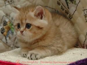 британский котенок 1.5 месяца