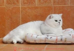 Британский золотой мраморный кот, развитие котенка по неделям фото, как узнать сколько недель котенку, сколько месяцев котенку, котенок до скольки месяцев, развитие котенка по месяцам, размер котят по месяцам, rjnznf 8 vtczwtd