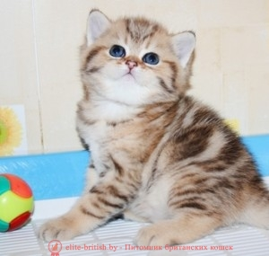 шотландские вислоухие котята 1 месяц, котята в возрасте 1 месяц, британские котята 1 месяц <em>уход</em> фото, котенок мейн кун 1 месяц, вислоухие котята 1 месяц фото, сколько спит котенок 1 месяц, шотландские котята 1 месяц фото, котята британцы 1 месяц фото, поведение котенка в 1 месяц, где спать котенку 1 месяц, котенку месяц, котенок 1 месяц, котята в месяц фото, как выглядят котята в месяц, котята 1 месяц фото, британские котята фото по месяцам, британские котята 1 месяц, вислоухие котята 1 месяц, шотландские котята 1 месяц, развитие котят по неделям,рост котят по неделям, как определить сколько недель котенку, развитие котенка по неделям фото, как узнать сколько недель котенку, сколько месяцев котенку, котенок до скольки месяцев, развитие котенка по месяцам, размер котят по месяцам, котята от рождения до месяца, взяли котенка 1 месяц, вислоухие котята 1 месяц фото, вислоухие котята 1 месяц фото, котенок 4 недели, rjntyre 4 ytltkb, rjntyre vtczw, rjntyjr 1 vtczw, rjnznf d vtczw ajnj, rfr dsukzlzn rjnznf d vtczw, rjnznf 1 vtczw ajnj,,hbnfycrbt rjnznf ajnj gj vtczwfv