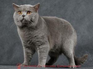 британский кот голубого окраса, развитие котенка по неделям фото, как узнать сколько недель котенку, сколько месяцев котенку, котенок до скольки месяцев, развитие котенка по месяцам, размер котят по месяцам, rjnznf 8 vtczwtd