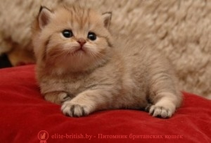 котенку 3 недели, котята в три недели, котята 3 недели фото, котенок 2 3 недели, шотландские котята 3 недели, британские котята 3 недели, вислоухие котята 3 недели фото, развитие котят по неделям,рост котят по неделям, как определить сколько недель котенку, развитие котенка по неделям фото, как узнать сколько недель котенку, rjntyre 3 ytltkb, rjnznf d nhb ytltkb, rjnznf 3 ytltkb ajnj, развитие котят по неделям,рост котят по неделям, как определить сколько недель котенку, развитие котенка по неделям фото, как узнать сколько недель котенку