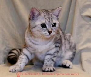 котенок 4 месяца, котята британские 4 месяца, котенок 4 месяца фото, шотландские котята 4 месяца, британские котята 4 месяца фото, котенок 4 месяца британец, <i>фото котят шотландский вислоухий уход</i> сибирские котята 4 месяца, фото 4 месяца шотландские котята, рост котенка в 4 месяца, поведение котенка в 4 месяца, развитие котят по неделям,рост котят по неделям, как определить сколько недель котенку, развитие котенка по неделям фото, как узнать сколько недель котенку, сколько месяцев котенку, котенок до скольки месяцев, развитие котенка по месяцам, размер котят по месяцам, rjntyjr 4 vtczwf, rjnznf,hbnfycrbt 4 vtczwf, rjntyjr 4 vtczwf ajnj