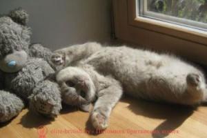 котенок 6 месяцев, котята британские 6 месяцев, котенок 6 месяцев фото, шотландские котята 6 месяцев, британский котенок 6 месяцев фото, развитие котят по неделям,рост котят по неделям, как определить сколько недель котенку, развитие котенка по неделям фото, как узнать сколько недель котенку, сколько месяцев котенку, котенок до скольки месяцев, развитие котенка по месяцам, размер котят по месяцам, rjntyjr 6 vtczwtd, rjnznf,hbnfycrbt 6 vtczwtd