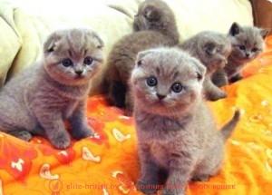 котенку 3 недели, котята в три недели, котята 3 недели фото, котенок 2 3 недели, шотландские котята 3 недели, британские котята 3 недели, вислоухие котята 3 недели фото, развитие котят по неделям, рост котят по неделям, как определить сколько недель котенку, развитие котенка по неделям фото, как узнать сколько недель котенку, rjntyre 3 ytltkb, rjnznf d nhb ytltkb, rjnznf 3 ytltkb ajnj, развитие котят по неделям, рост котят по неделям, как определить сколько недель котенку, развитие котенка по неделям фото, как узнать сколько недель котенку