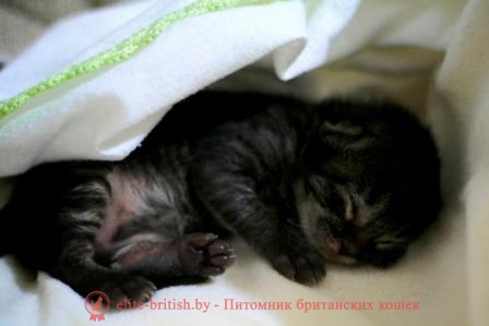 новорождённые шотландские котята фото