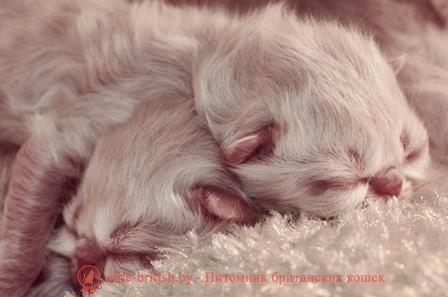 котята новорожденные шотландские вислоухие фото