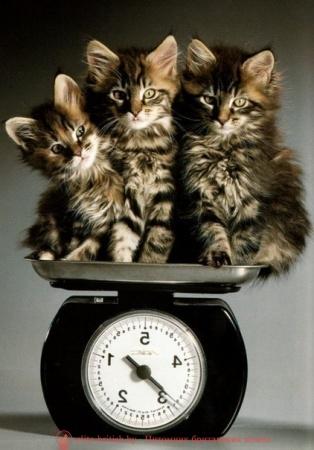 рост шотландских кошек по месяцам фото