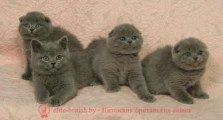 как выглядит британский котенок