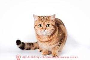 британская золотая, золотые британские котята, британская золотая кошка, питомник британских золотых кошек, золотой британский кот, британские кошки золотого окраса, британские золотые котята купить, британские котята золотого окраса, питомник британских кошек золотого окраса, золотые британские котята цена, золотые британские котята фото, продажа британских золотых котят, британская короткошерстная кошка золотая шиншилла, британская мраморная, британские мраморные котята, британская мраморная фото, британская мраморная кошка, британский кот мраморный, мраморный окрас британских котят, британские котята фото мраморные, мраморная британская кошка фото, мраморный британский кот фото, британская кошка мраморный окрас, британские котята мраморного окраса фото, мраморные британские котята купить, британский короткошерстный мраморный, британский кот мраморного окраса, британский мраморный табби, мраморные британские котята цена, британская короткошерстная мраморного окраса, британская кошка мраморный окрас фото, британская мраморная кошка цена, мраморная британская короткошерстная кошка, британский кот мраморного окраса фото, кошка британская мраморная купить, питомник британских золотых кошек, британские кошки питомник минск, сайты питомников британских кошек, питомник британских кошек золотого окраса, питомник британские котята продажа, лучший питомник британских кошек, британские короткошерстные котята питомник