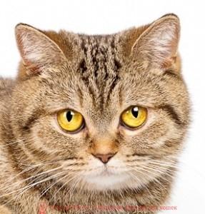 британская шоколадная, шоколадные британские котята, британская шоколадная кошка, питомник британских шоколадных кошек, шоколадный британский кот, британские кошки шоколаднго окраса, британские шоколадные котята купить, британские котята шоколадного окраса, питомник британских кошек шоколадного окраса, шоколадные британские котята цена, шоколадные британские котята фото, продажа британских шоколадных котят, британская короткошерстная кошка шоколадная пятнистая, британская пятнистая, британские пятнистые котята, британская шоколадня фото, британская пятнистая кошка, британский кот пятнистый, пятнистый окрас британских котят, британские котята фото пятнистые, пятнистая британская кошка фото, пятнистый британский кот фото, британская кошка пятнистый окрас, британские котята пятнистого окраса фото, пятнистые британские котята купить, британский короткошерстный шоколадный, британский кот шоколадного окраса, британский пятнистый табби, пятнистые британские котята цена, британская короткошерстная пятнистого окраса, британская кошка пятнистый окрас фото, британская пятнистая кошка цена, пятнистая британская короткошерстная кошка, британский кот шоколадного пятнистого окраса фото, кошка британская шоколадная купить, питомник британских шоколадных кошек, британские кошки питомник минск, сайты питомников британских кошек, питомник британских кошек шоколадного окраса, питомник британские котята продажа, лучший питомник британских кошек, британские короткошерстные котята питомник
