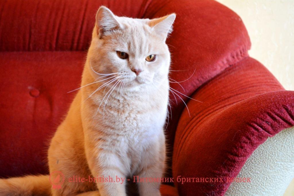 фото кот британский персиковый