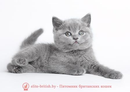 Британские котята: Фото, Цена или Сколько стоит британский котенок HB72