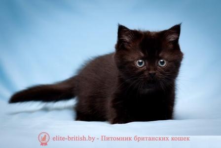 Британский кот в беларуси