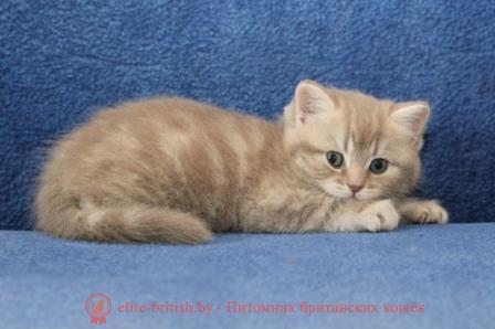 Британский мраморный кот купить