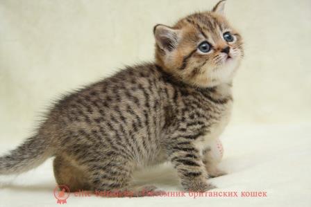 шоколадные котята фото цена