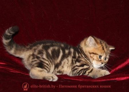 британские котята полосатые фото
