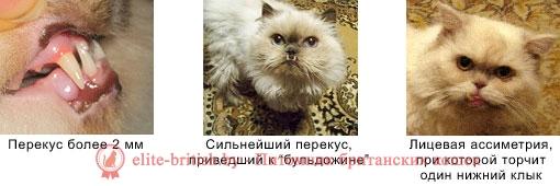 прикус у кошек, прикус у котов, у котенка неправильный прикус, неправильный прикус у котенка, неправильный прикус у кошек, у кошки неправильный прикус, у кота неправильный прикус, кот с неправильным прикусом, прикус у кошек фото, правильный прикус у кошек, правильный прикус у кошки фото