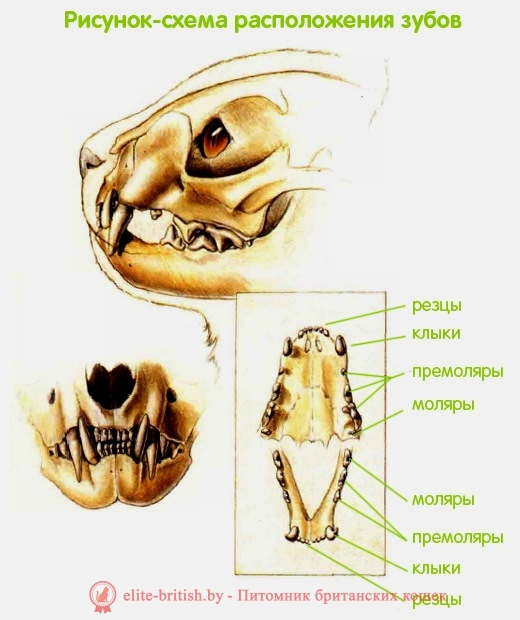 сколько зубов у кошки, колько у котят зубов, сколько зубов у кота, сколько зубов у взрослой кошки, сколько зубов у кошки фото, количество зубов у кошки, расположение зубов у кошек, зубы у кошки схема, строение зубов у кошек, зубы у кошек, зубы у котов, зубы у котят, молочные зубы у кошек, молочные зубы у котят, какие зубы у кошки, зубы у кошек фото, зубы кота фото, зубы котенка фото, зубы у домашних кошек, у кошек растут зубы, зубы у британских кошек