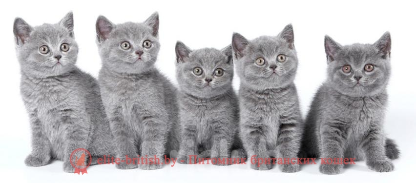Окраски британских котов