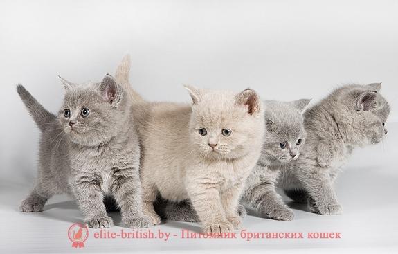 С фото окрас британской породы кошек