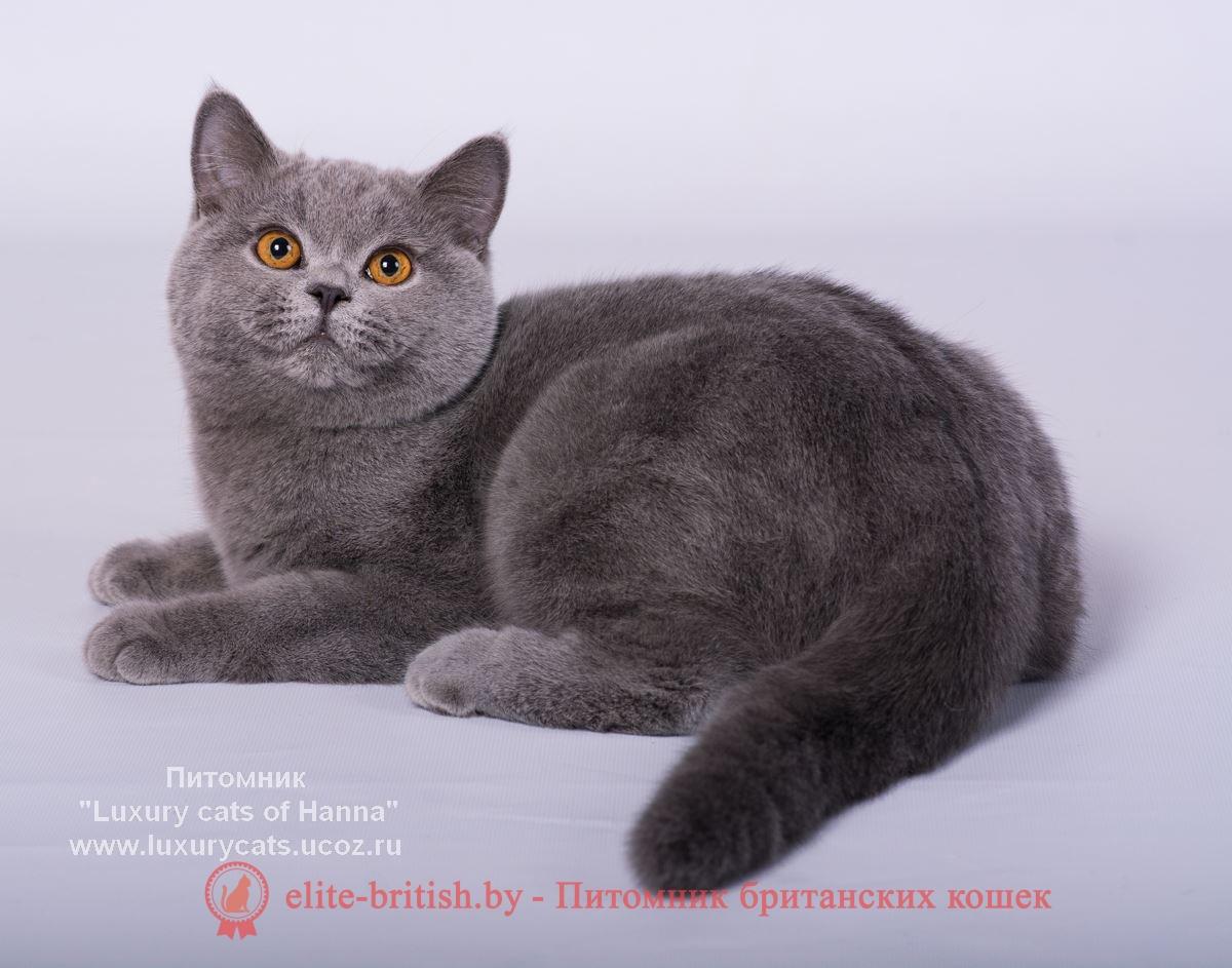 британские кошки фото голубые