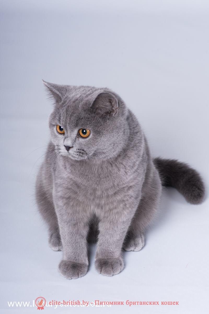 британского кота фото голубого окраса
