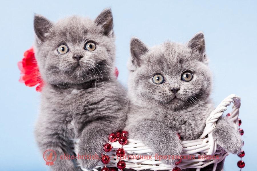 Однотонные окрасы, окраска британских кошек фото, окраски британских кошек, окраска британских котят, окраска британцев, окрасы британских кошек, окрас британцев, британские коты окрасы фото, кот британский окрас, окрасы британцев с фото, окрас британской породы кошек, окрасы британских кошек с фото, каких окрасов бывают британские кошки, окрас британских котят фото, коты британцы фото окрасы, кошки британцы окрасы, котенок британский окрас, британские короткошерстные кошки окрасы, окрасы котов британцев, котята британцы окрас, какие окрасы у британских кошек, кошки породы британец окрасы, название окрасов британских кошек, цвета британских кошек фото, цвета британцы, цвета британских кошек, цвета британских котов, какого цвета британские кошки, какого цвета британские кошки бывают, британские котята цвет, какого цвета британские котята, британец расцветки, британские котята, расцветки фото, расцветки британских кошек фото, расцветка британских кошек, британский кот расцветки, британские котята расцветки, британский кот рисунок, раскраска британских котят, раскраска британских кошек, какого окраса бывают британские котята, какие окрасы бывают у британцев, каких окрасов бывают британские кошки, какие окрасы бывают у британцев, какие окрасы у британских кошек, какого окраса бывают британские котята, какого цвета британские кошки, какого цвета британские кошки бывают, какого цвета британские котята, виды британцев, виды британской кошки, виды британских кошек фото, виды британских котов, разновидности британских кошек фото, разновидности британской породы кошек, разновидности британских кошек, разновидности британской породы кошек, разновидности британских кошек, британский кот разновидности, разновидность британских котят, разновидности британцев, какие бывают британские котята, британцы какие бывают, какие бывают британские кошки