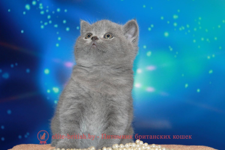 британцы фото котов голубые
