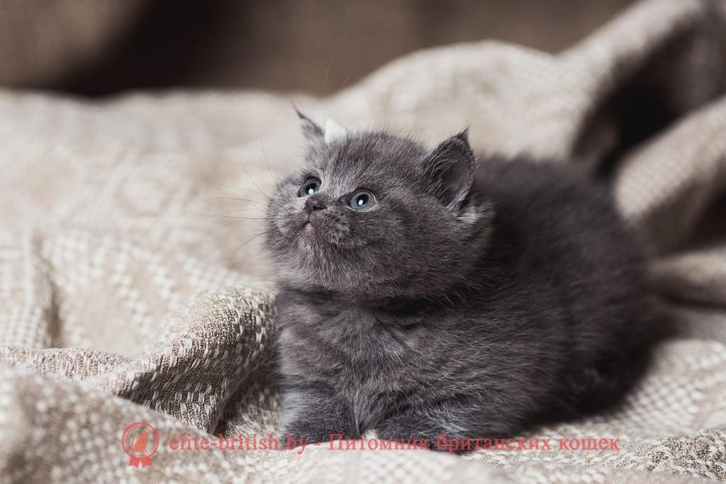Питомник британских кошек Elite British