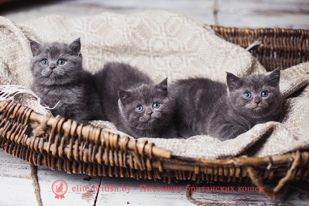 персидских котят голубого окраса