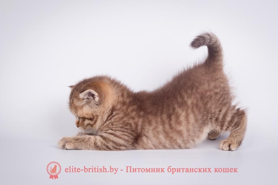 Табби окрасы, рисунчатые окрасы британцев