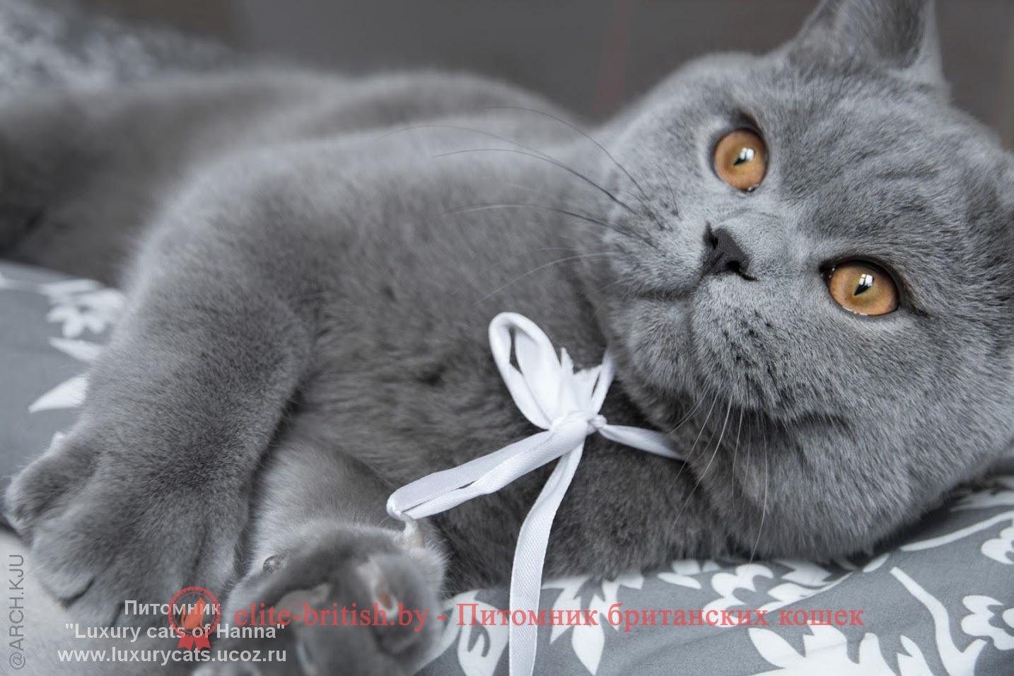 Бомбейская кошка описание фото стандарт характер