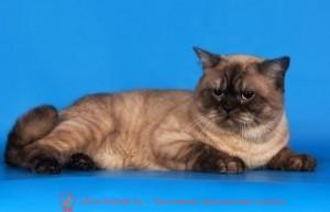 британские кошки дымчатые, дымчатые британцы, британский дымчатый кот, британская кошка дымчатого окраса, британец дымчатый фото  блю пойнт британские кошки, британские кошки колор пойнт, блю пойнт британские котята, блю пойнт британцы, колор пойнт британец, кот британский колор пойнт, британские котята колор пойнт,