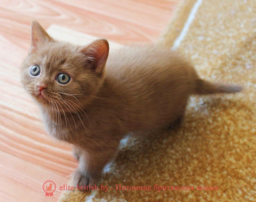 Британский циннамон фото. Циннамон британец. Кошка британская циннамон. Кот британский циннамон