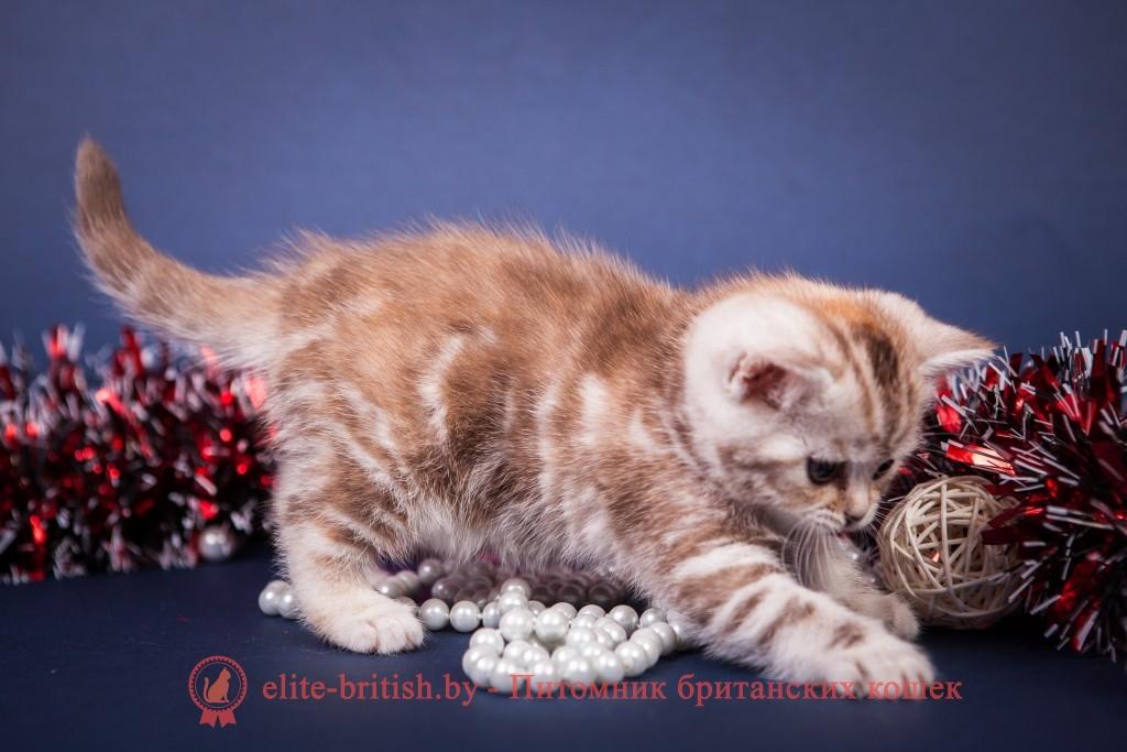 Черепаховый окрас британских кошек, британские котята черепахового окраса фото, черепаховый окрас британской кошки фото, черепаховый британец, британская черепаховая кошка фото, британцы черепахового окраса фото, кошки британские черепахового окраса, черепаховый британский кот, британские коты черепахового окраса, британская черепаховая кошка, британские черепаховые котята, британские котята черепахового окраса, британцы черепаховый окрас, черепаховые британцы фото, британские кошки черепахового окраса, британцы черепахового окраса, британская кошка черепаховый окрас фото, котята британские черепаховый окрас, британец черепахового окраса фото, британские котята черепахового окраса фото, британская кошка черепаший окрас, британский кот черепахового окраса, Черепаховый окрас британских кошек: фото, стандарты. Фото черепаховой кошки, кота, котят. Черепаховые британцы: стандарт окраса.