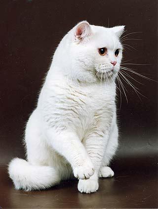 Британский кот белый куплю