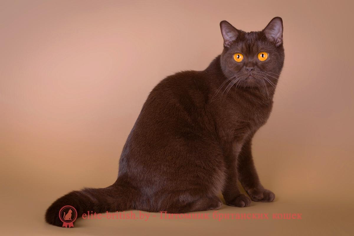 Кот британский шоколадный окрас