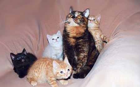 Окрасы британских кошек фото стандарты Виды окрасов