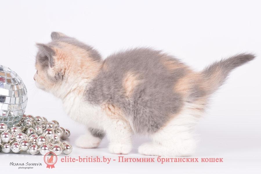 Черепаховый окрас британских кошек, британские котята черепахового окраса фото, черепаховый окрас британской кошки фото, черепаховый британец, британская черепаховая кошка фото, британцы черепахового окраса фото, кошки британские черепахового окраса, черепаховый британский кот, британские коты черепахового окраса, британская черепаховая кошка, британские черепаховые котята, британские котята черепахового окраса, британцы черепаховый окрас, черепаховые британцы фото, британские кошки черепахового окраса, британцы черепахового окраса, британская кошка черепаховый окрас фото, котята британские черепаховый окрас, британец черепахового окраса фото, британские котята черепахового окраса фото, британская кошка черепаший окрас, британский кот черепахового окраса
