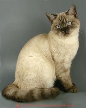 Коты британцы дымчатые